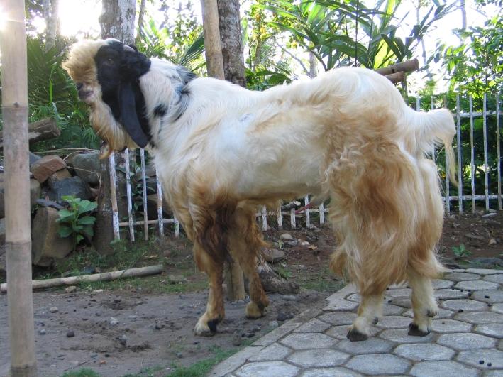 informasi mengenai kambing atau wedhus